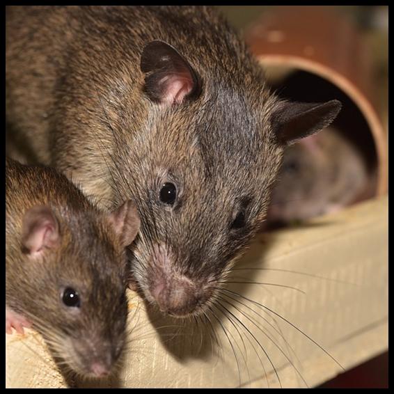 Plaga de ratones en casa interesting gato amarillo de - Como acabar con las ratas en mi casa ...
