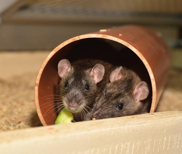 Eliminar ratones falso techo good finest conoce como puedes eliminar los ratones en un abrir y - Ratones en casa eliminar ...